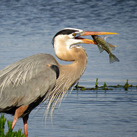 photo of a bird hold a fish in its mouth